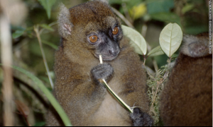 Greater Bamboo Lemur, Madagasca