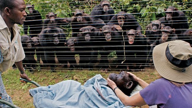 chimps greiving